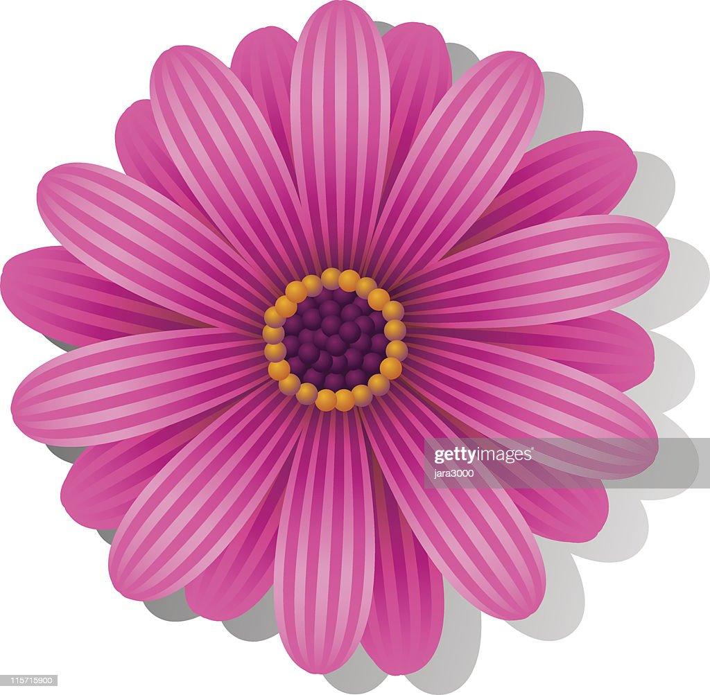 Beautiful pink Gerbera Daisy