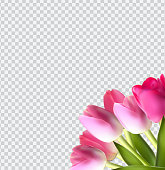 Beautiful Pink Realistic Tulip on Transparent Background Vector