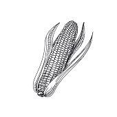 Beautiful vector hand drawn vegetables Illustration.