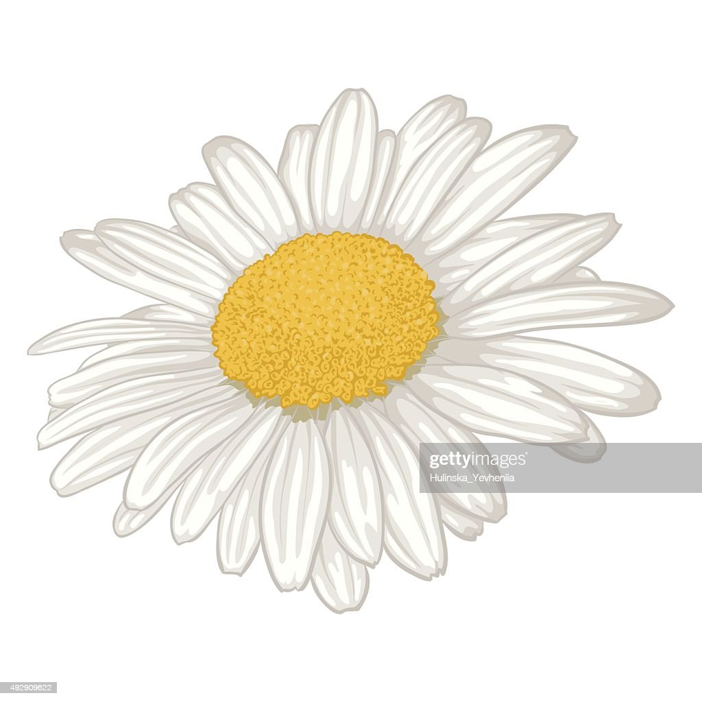 beautiful white daisy flower isolated.