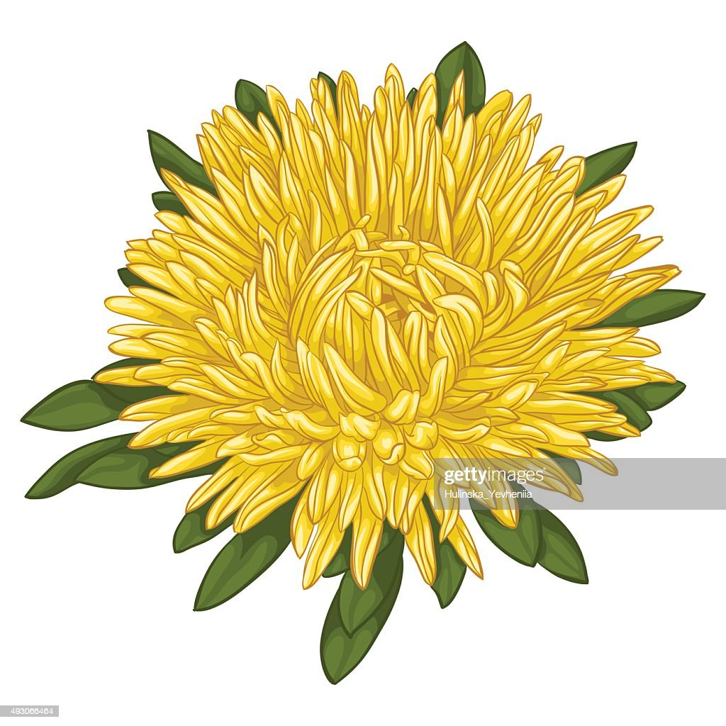 Beautiful yellow aster isolated on white background.