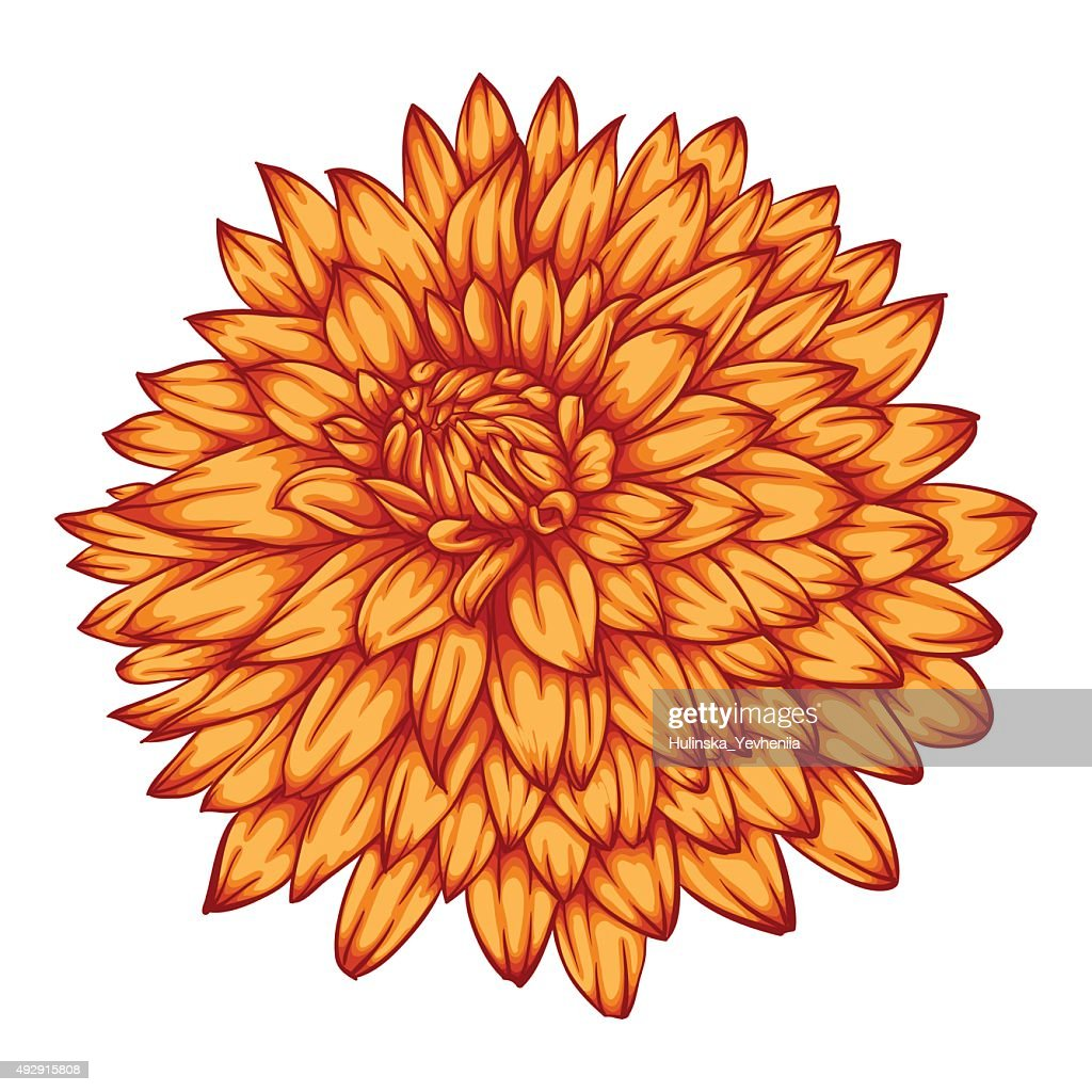 beautiful yellow dahlia isolated on white background.