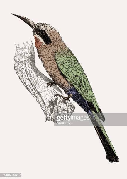Bee Eater pájaro