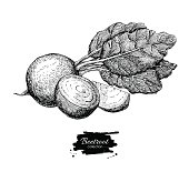 Beetroot hand drawn vector. Isolated engraved style Beetroot vegetable