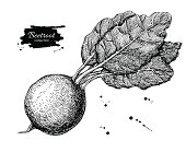 Beetroot hand drawn vector. Vegetable engraved style illustratio