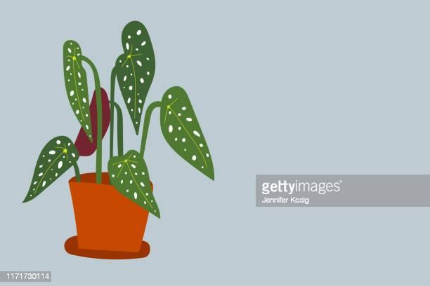 illustrations, cliparts, dessins animés et icônes de illustration de plante d'intérieur de maculata de begonia - plante verte