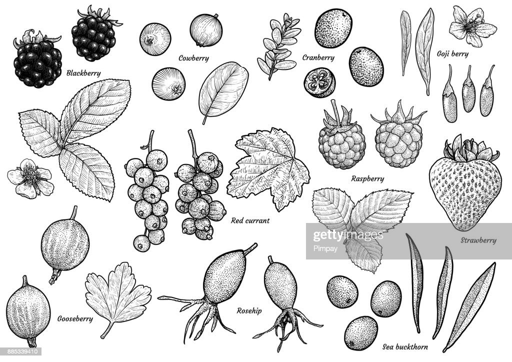 Berry collection illustration, drawing, engraving, ink, line art,   vector