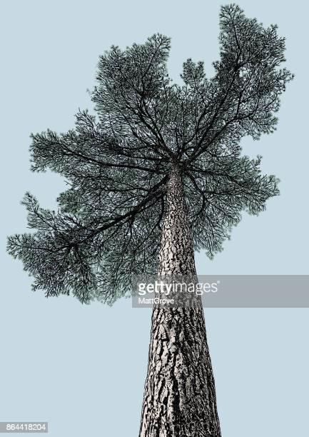 big old pine tree - tree bark stock illustrations, clip art, cartoons, & icons