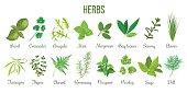 Big set of realistic culinary herbs. sage, thyme, rosemary, basil