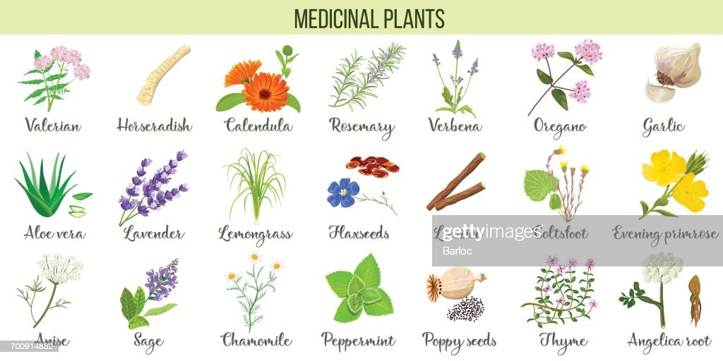 Big vector set of medicinal plants. Valerian, Aloe vera, lavender, peppermint, angelica root, Chamomile, verbena, anise