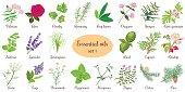 Big vector set of popular essential oil plants. Rose, Geranium, lavender, mint, melissa, Chamomile, cedar, pine, juniper, rosehip etc. For cosmetics store spa health care aromatherapy homeopathy