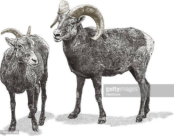 illustrations, cliparts, dessins animés et icônes de mouflon des rocheuses - ram animal