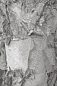 Birch Bark Textured Background