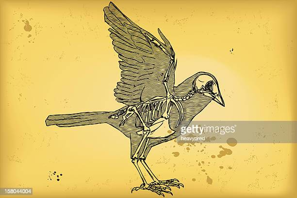 bird anatomy - animal skeleton stock illustrations, clip art, cartoons, & icons