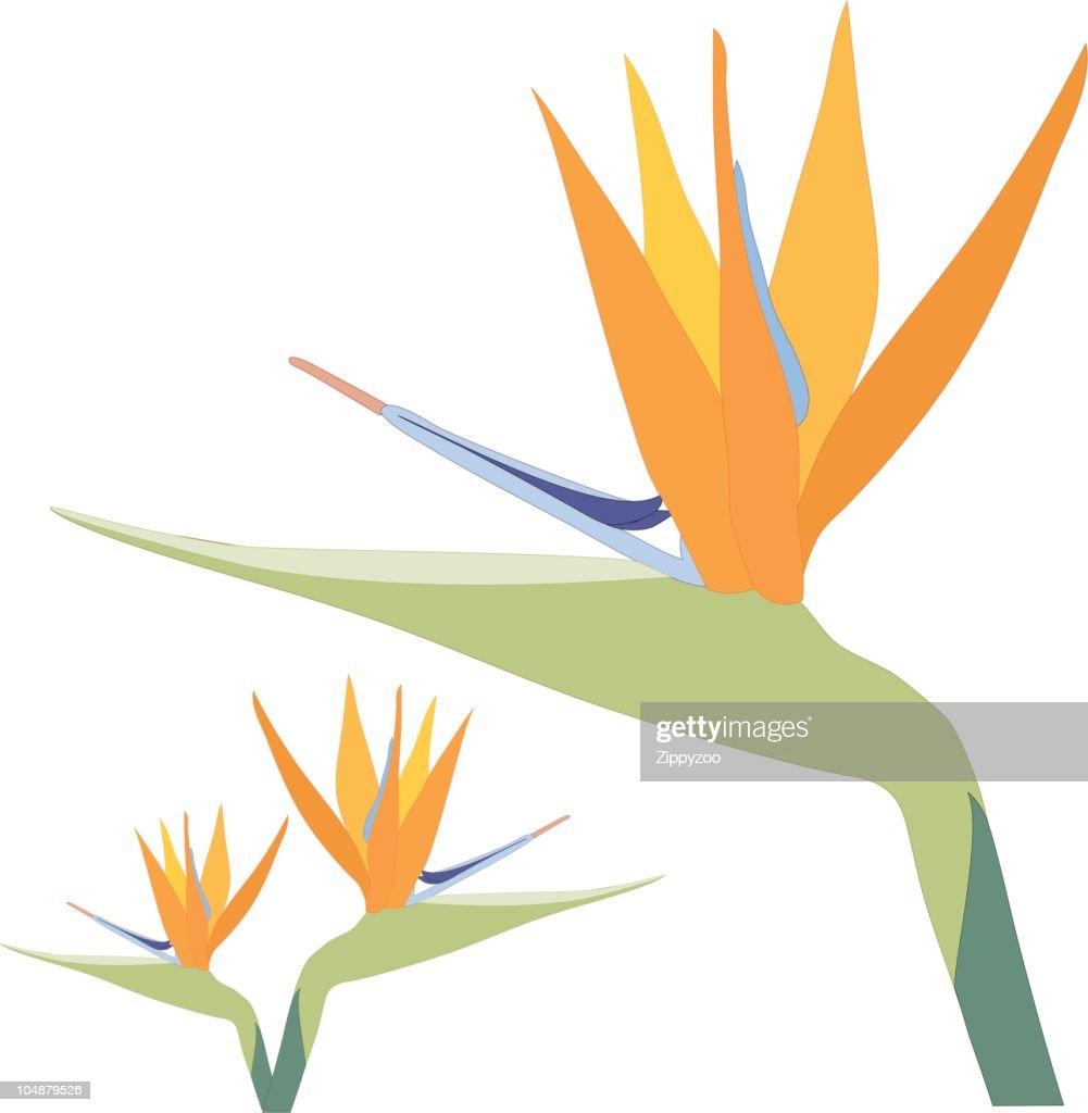 Bird of Paradise Flower on white (Vector)