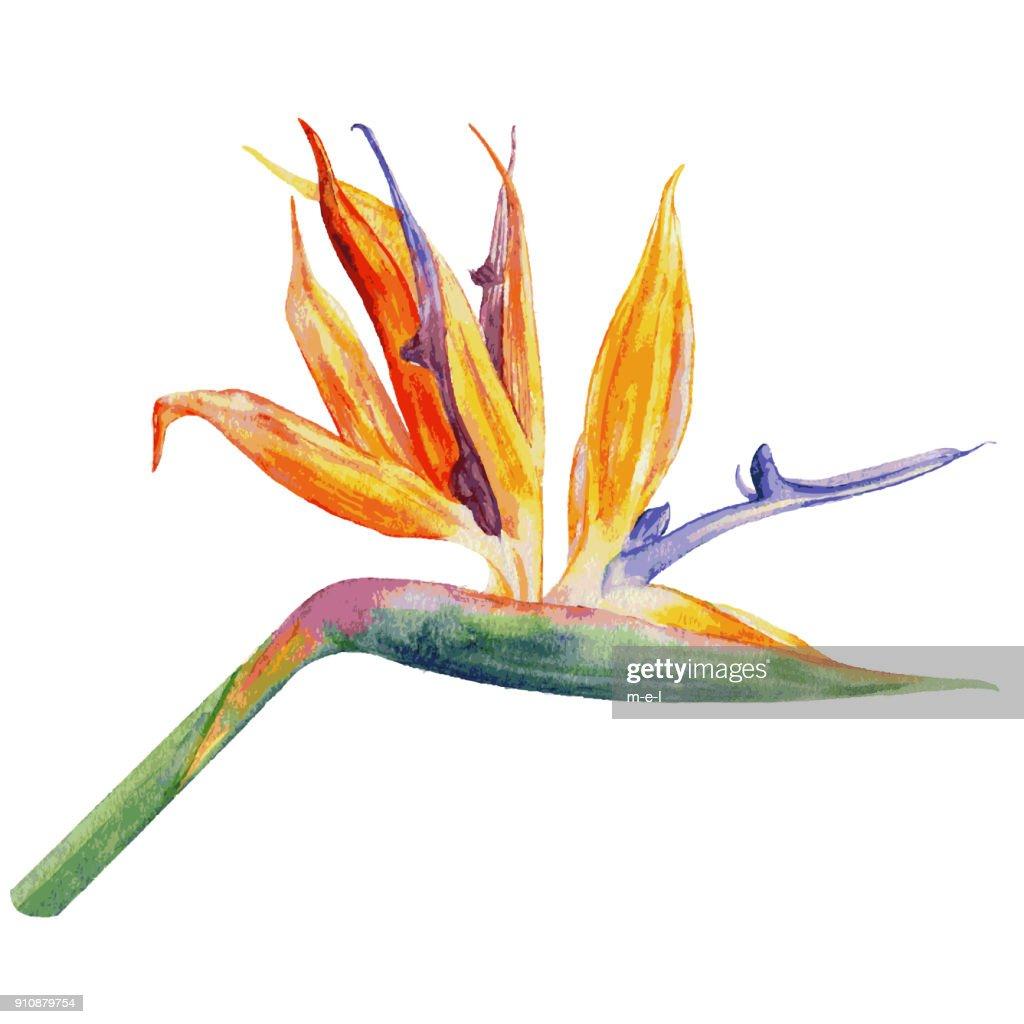 Bird of paradise flower, Strelitzia reginae, crane flower hand drawn botanical illustration isolated on white backdrop, exotic tropical plant for design pattern cosmetic, greeting card, wedding invite