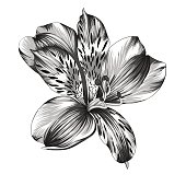 black and white Alstroemeria flower with watercolor effect isolated