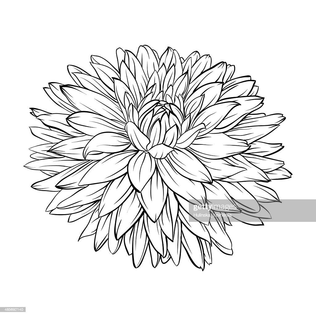 black and white dahlia flower isolated. Hand-drawn contour lines and strokes.