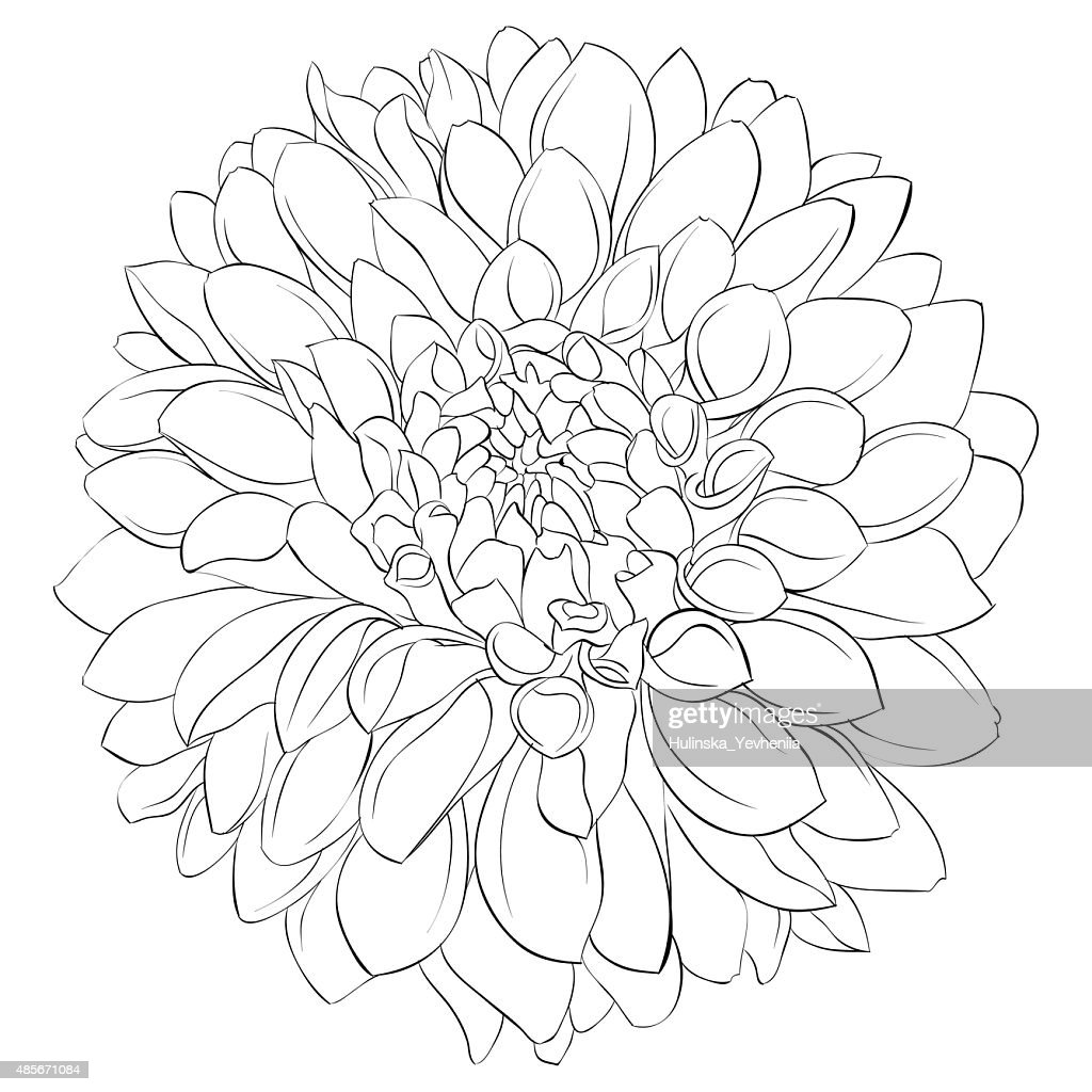 Black And White Dahlia Flower Isolated On Background Vector Art