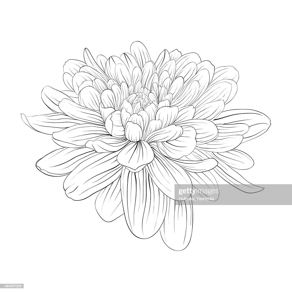 black and white dahlia flower isolated on white background
