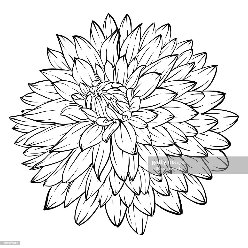 black and white dahlia flower isolated