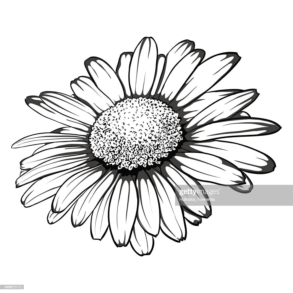 black and white daisy flower isolated.