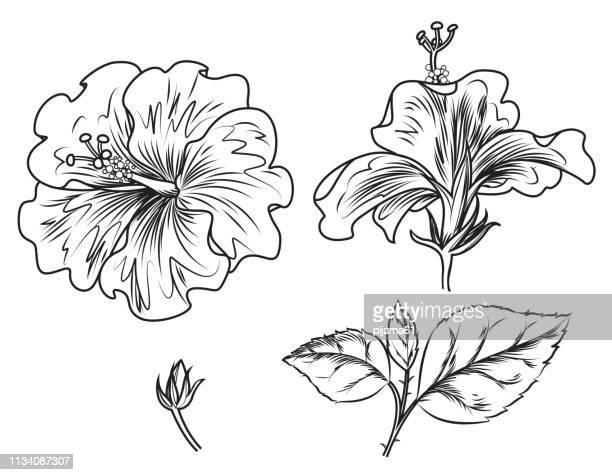 illustrations, cliparts, dessins animés et icônes de fleurs d'hibiscus noir et blanc, branche, feuille - hibiscus
