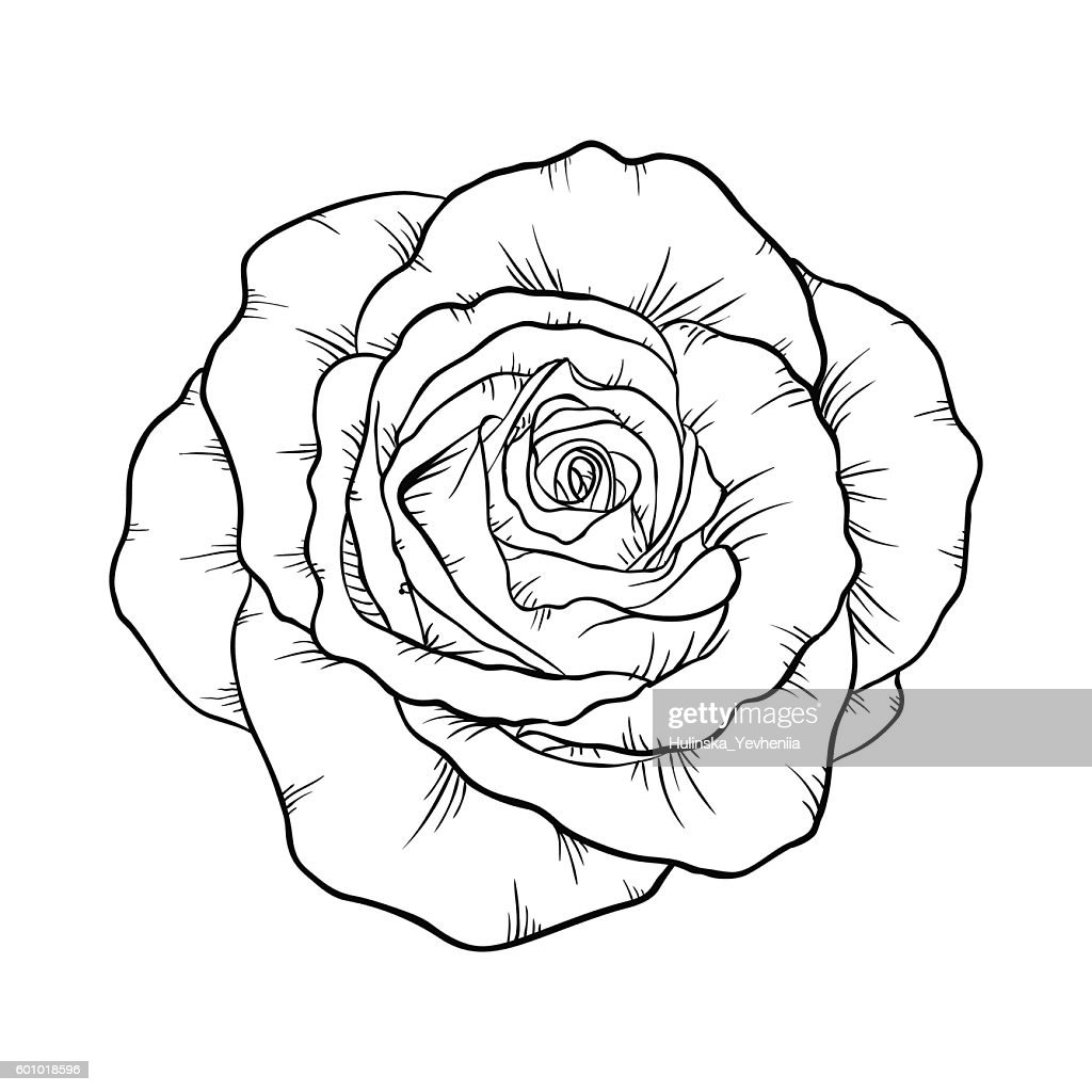 black and white rose isolated on white background.