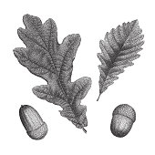 Black vintage engraving of oak leaf and acorn