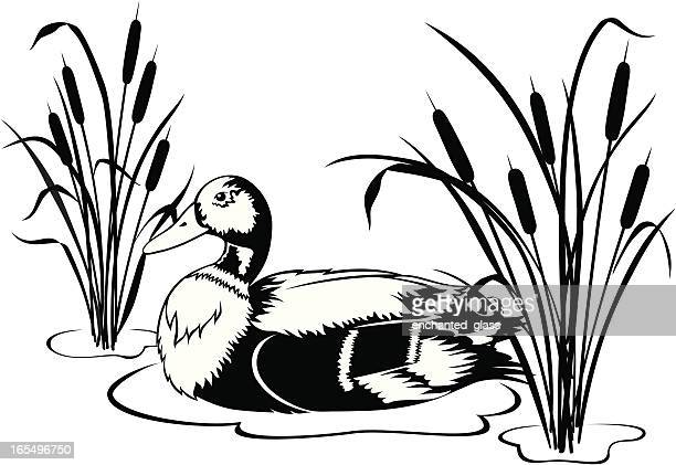 Black & White Mallard Duck with Cattails