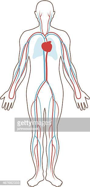 blood supply illustration - respiratory system stock illustrations