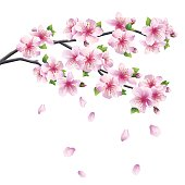 Blossoming branch of sakura - Japanese cherry tree