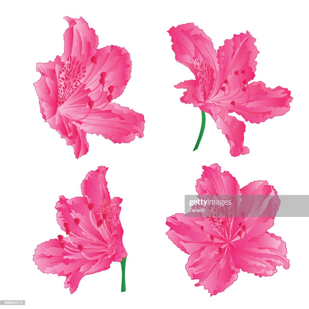 Blossoms pink rhododendrons set three mountain shrub vintage hand draw vector