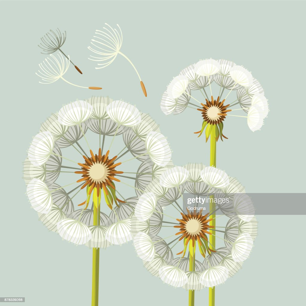 Blowing dandelion flower with fragile flying parts on green stem