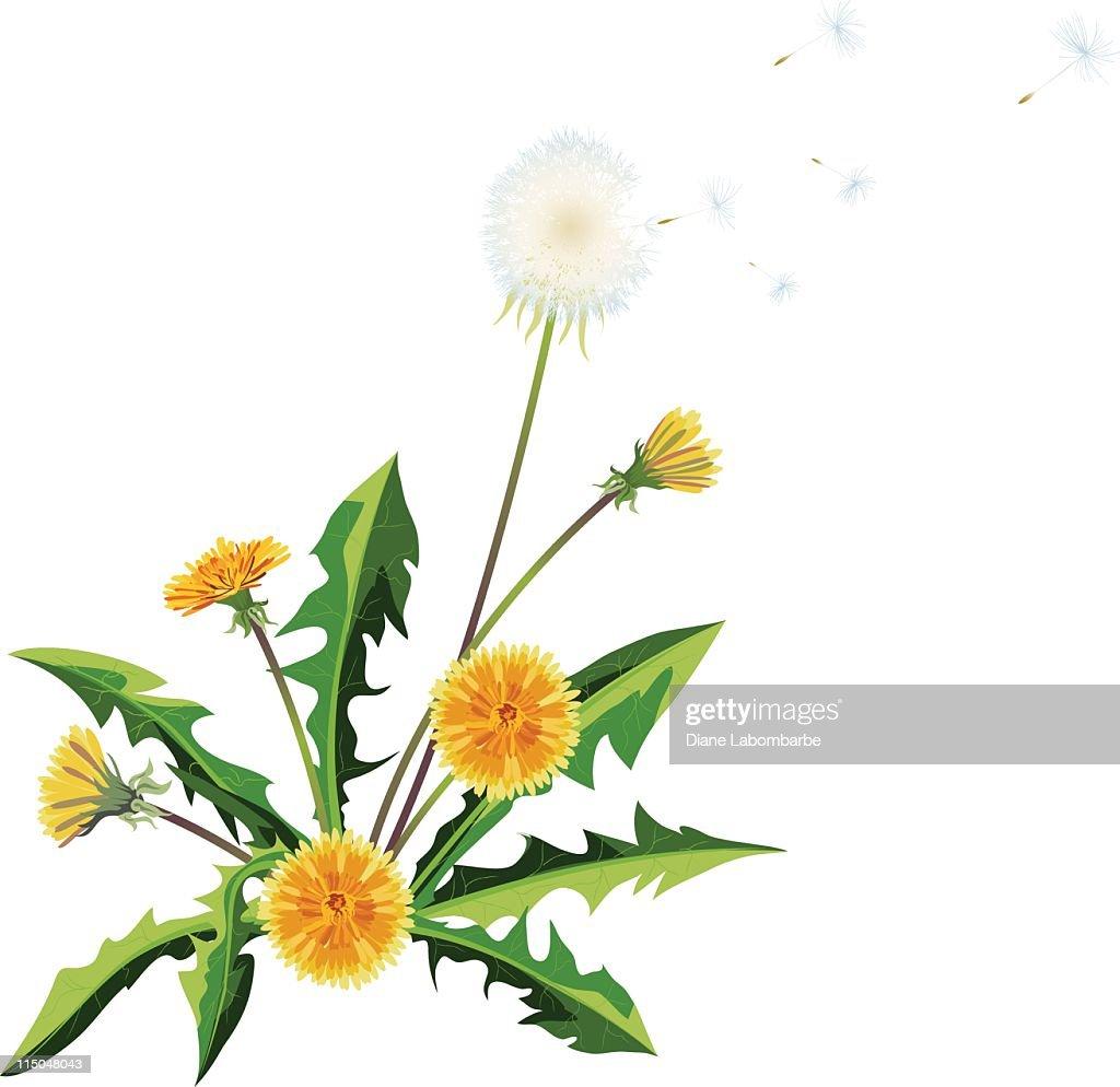 Blowing Dandelion Plant