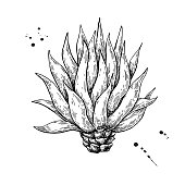 Blue agave. Tequila ingredient vector drawing