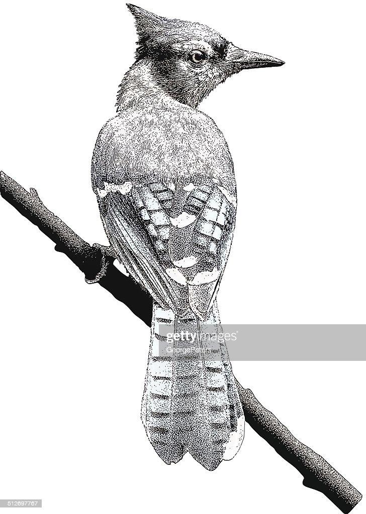 Blue Jay. Isolated on White