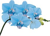Blue orchid branch with buds