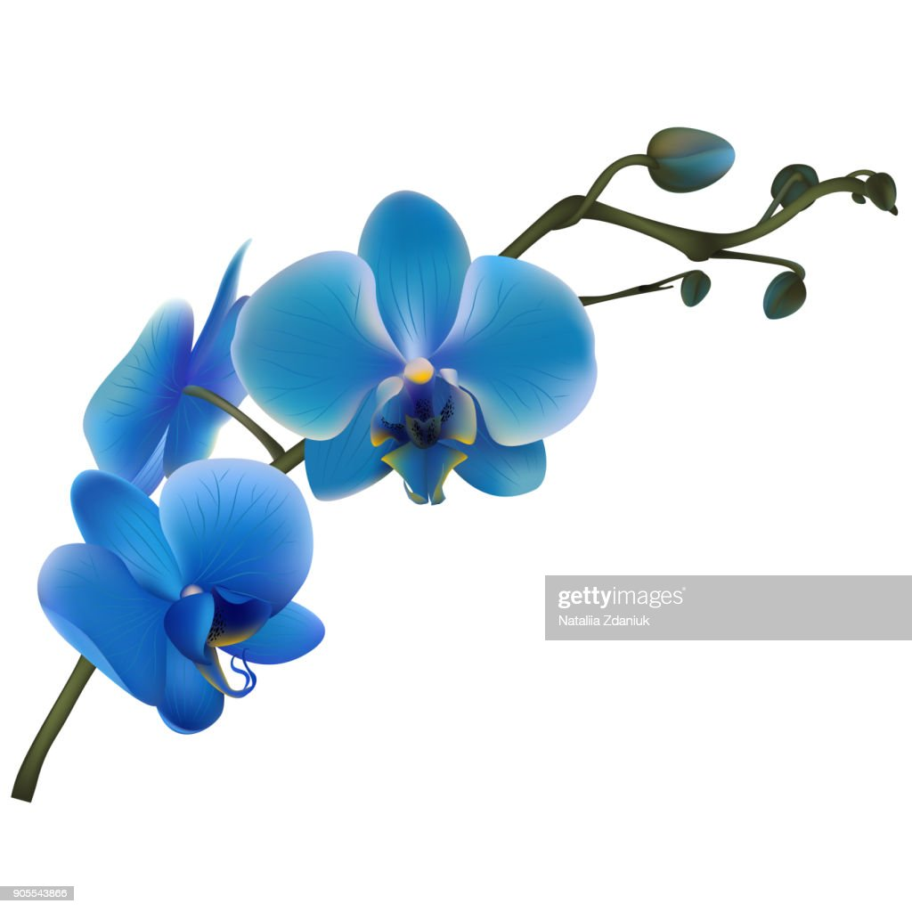 Blue orchids. Tropical flowers. Exotic plants.  Vector illustration.