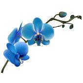 Blue orchids. Tropical flowers. Exotic plants.  Vector illustration.