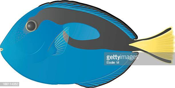 blue surgeon fish / chirurgien bleu - acanthuridae stock illustrations, clip art, cartoons, & icons