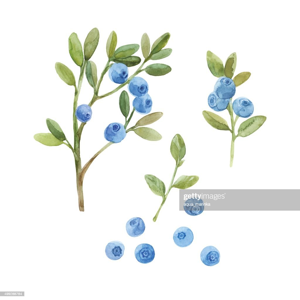 Blueberry. Hand drawn watercolor vector illustration, sketch. Elements for design.