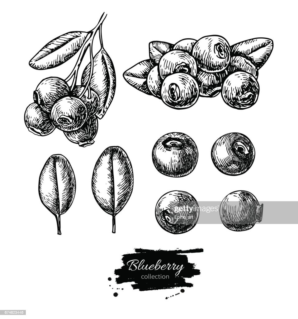 Blueberry vector drawing set. Isolated hand drawn berry, heap, branch and leaf on white background.
