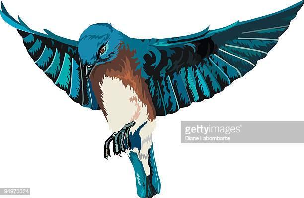 Bluebird with Full Open Wings In Flight Illustration on White