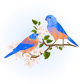 Bluebirds  thrush small songbirdons on an apple tree branch with flowers vintage vector illustration editable