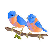 Bluebirds  thrush small songbirdons on an  branch on a white background spring background vintage vector illustration editable