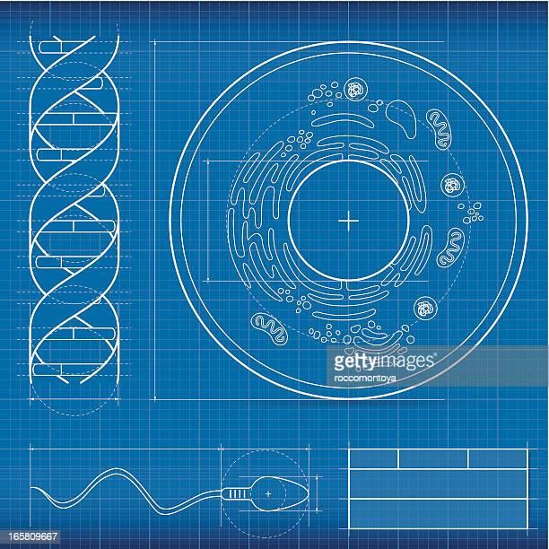 Blueprint, biology