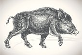 Boar professional drawing