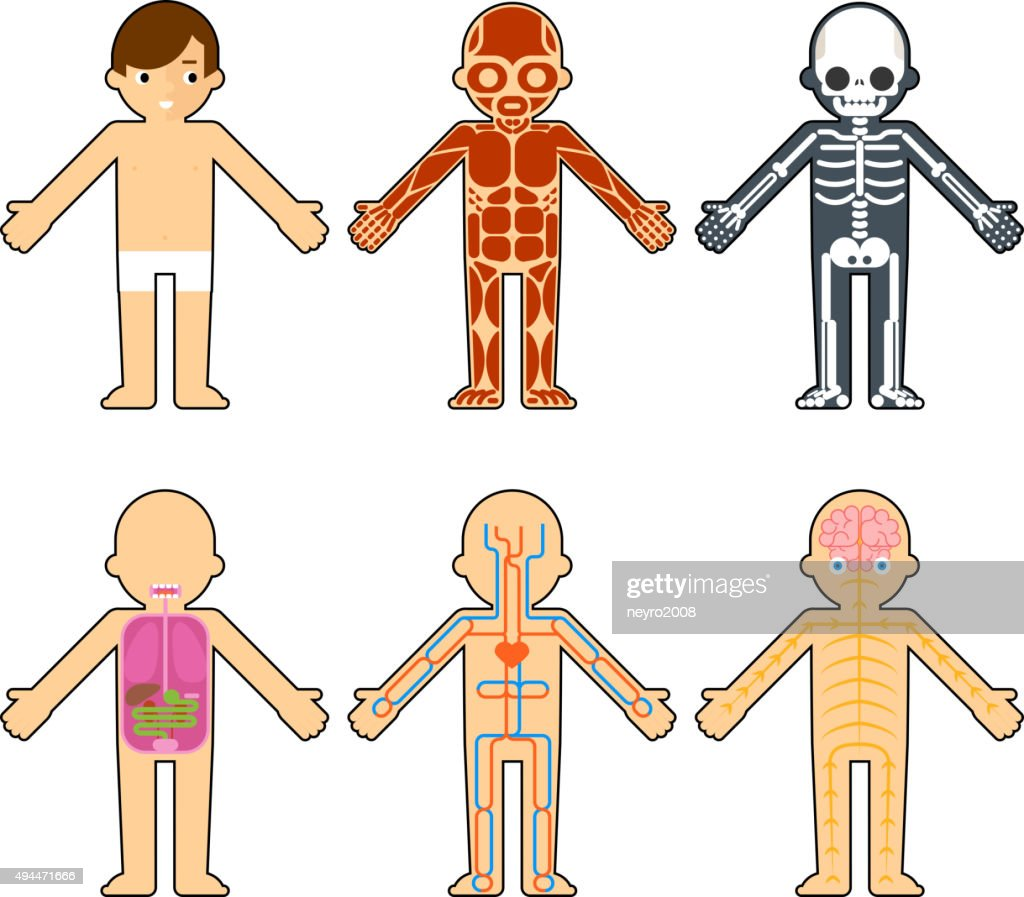 Body Anatomy For Kids Vector Art Getty Images