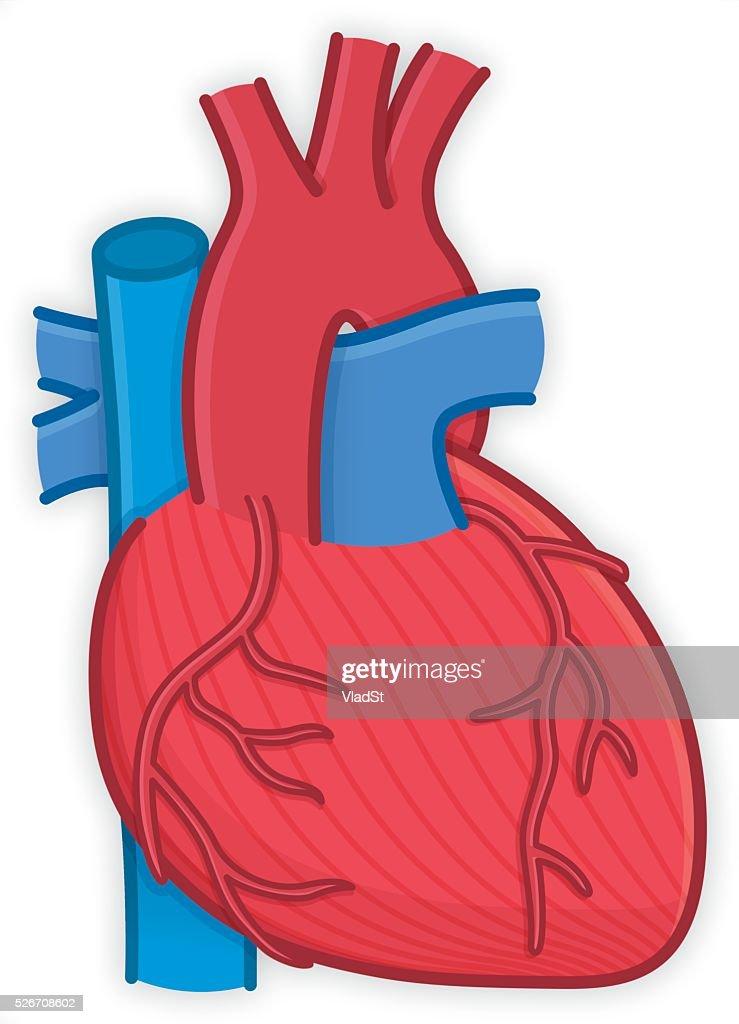 Body Parts Human Heart Organ Anatomy Vector Art Getty Images